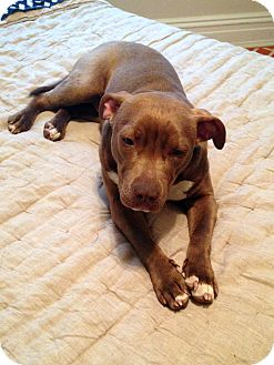 Pit Bull Terrier Mix Dog for adoption in Richmond, Virginia - Darla