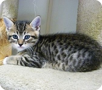 Domestic Shorthair Kitten for adoption in Lathrop, California - Roger
