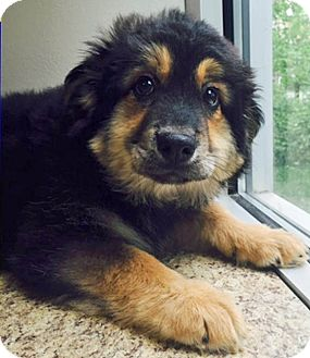 Shepherd (Unknown Type)/Rottweiler Mix Puppy for adoption in Gahanna, Ohio - ADOPTED!!!   Glinda