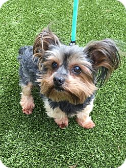 Yorkie, Yorkshire Terrier Mix Dog for adoption in Germantown, Tennessee - Rusty