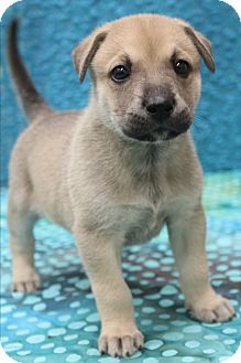Labrador Retriever/German Shepherd Dog Mix Puppy for adoption in Southington, Connecticut - Lucy