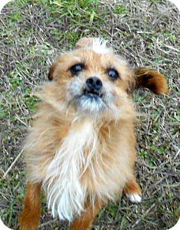 Norfolk Terrier Mix Dog for adoption in Allentown, New Jersey - Brownie