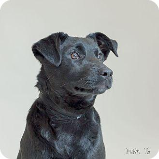 Labrador Retriever Puppy for adoption in Naperville, Illinois - Cosmo