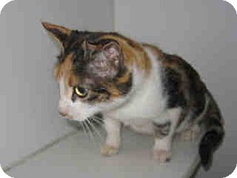 Domestic Shorthair Cat for adoption in Newnan City, Georgia - Scarlett