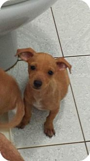 Dachshund/Chihuahua Mix Puppy for adoption in Pennigton, New Jersey - Peanut
