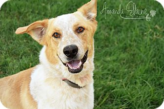 Australian Shepherd/Australian Cattle Dog Mix Dog for adoption in Pilot Point, Texas - DARIUS