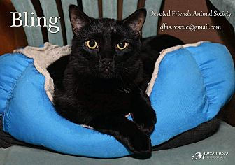 Domestic Shorthair Cat for adoption in Ortonville, Michigan - Bling