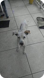 Labrador Retriever/Great Dane Mix Puppy for adoption in Boynton Beach, Florida - Loki