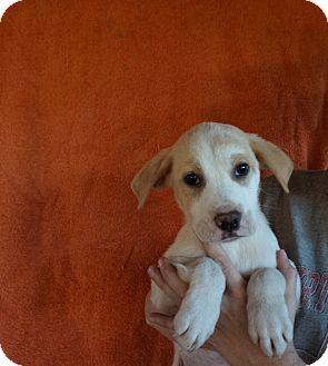 Labrador Retriever/Golden Retriever Mix Puppy for adoption in Oviedo, Florida - Razz