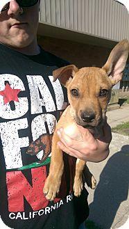 Australian Kelpie Mix Puppy for adoption in Ogden, Utah - Shelton