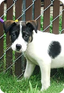 Collie Mix Puppy for adoption in Walden, New York - Fiona