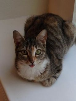 Domestic Shorthair/Domestic Shorthair Mix Cat for adoption in Houston, Texas - Ella