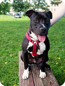 Pit Bull Terrier Mix Dog for adoption in Whitehall, Pennsylvania - Edgar Allen Pit