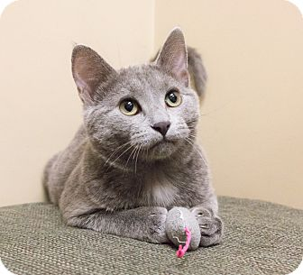 Russian Blue Kitten for adoption in Chicago, Illinois - Girl Scout