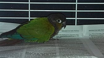 Conure for adoption in Elizabeth, Colorado - Savvy