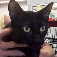 Adopt A Pet :: Betty Boop - Whitehall, PA