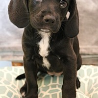 Adopt A Pet :: Nestle - Hagerstown, MD