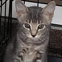 Adopt A Pet :: Harley - Land O Lakes, FL