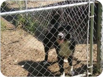 Australian Shepherd/Border Collie Mix Dog for adoption in Cairo, Georgia - Rascal