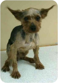 Yorkie, Yorkshire Terrier Dog for adoption in Kansas City, Missouri - Marty