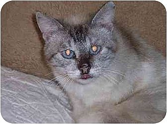 Siamese Cat for adoption in Austin, Texas - Katie II