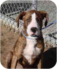 Boxer/Hound (Unknown Type) Mix Puppy for adoption in Baltimore, Maryland - Andy