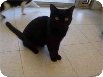 Domestic Shorthair Cat for adoption in El Cajon, California - Oprah