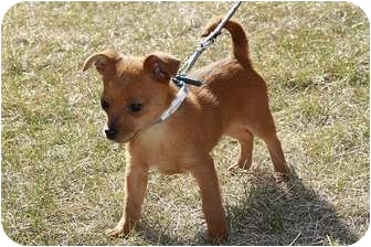 Terrier (Unknown Type, Small)/Chihuahua Mix Puppy for adoption in Broomfield, Colorado - Macaroni