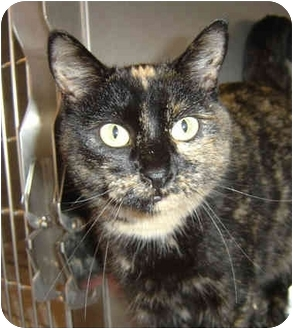 Domestic Shorthair Cat for adoption in Overland Park, Kansas - Flower