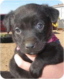 Labrador Retriever/Shepherd (Unknown Type) Mix Puppy for adoption in Golden Valley, Arizona - Pearl