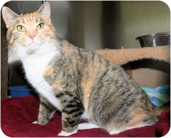 Domestic Shorthair Cat for adoption in Edmonton, Alberta - Pointsetta
