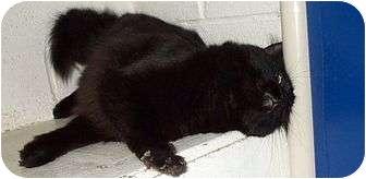 Domestic Mediumhair Cat for adoption in Beacon, New York - Barney