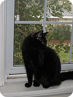 Maine Coon Kitten for adoption in Arlington, Virginia - Jingle (& Belle)