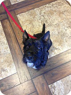 Scottie, Scottish Terrier Dog for adoption in Ogden, Utah - Lynx