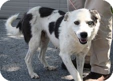 Australian Shepherd/Border Collie Mix Dog for adoption in Spring Valley, New York - Daphne($200 adoptionfee)
