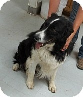 Border Collie Mix Dog for adoption in Silver City, New Mexico - Buster