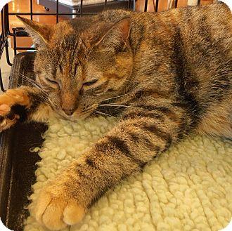 Domestic Shorthair Cat for adoption in Horsham, Pennsylvania - Abbey Rose