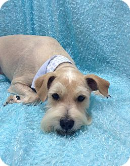Schnauzer (Miniature) Mix Dog for adoption in Winchester, Kentucky - Bruce