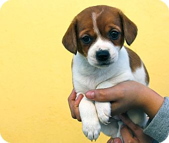 Jack Russell Terrier/Beagle Mix Puppy for adoption in Los Angeles, California - Chowmein