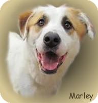 Labrador Retriever/Dalmatian Mix Dog for adoption in Rochester, Michigan - Marley