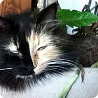 Adopt A Pet :: Ribbon - Alexandria, VA
