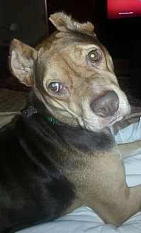 Pit Bull Terrier/American Staffordshire Terrier Mix Dog for adoption in Mobile, Alabama - Kinsey