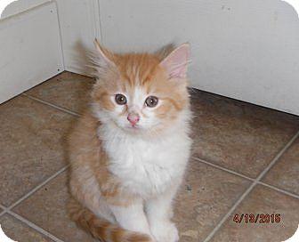 Domestic Longhair Kitten for adoption in Toledo, Ohio - Alexander