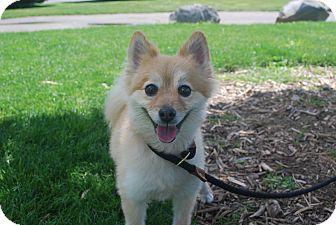 Pomeranian Mix Dog for adoption in Twin Falls, Idaho - Dana-Delight