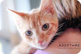 Domestic Shorthair Cat for adoption in Edwardsville, Illinois - Simon