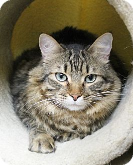 Maine Coon Cat for adoption in Benbrook, Texas - Jet