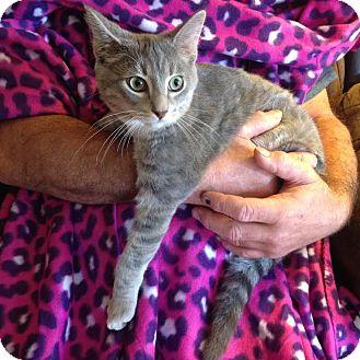 Domestic Shorthair Kitten for adoption in Charlotte, North Carolina - A..  Valentino