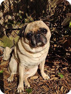 Pug Dog for adoption in Buffalo, New York - Francis