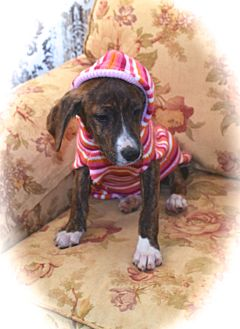 Catahoula Leopard Dog/Treeing Walker Coonhound Mix Puppy for adoption in Ijamsville, Maryland - Dorothy