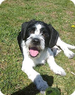 Pekingese/Labrador Retriever Mix Puppy for adoption in Greensburg, Pennsylvania - Moe